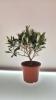 živo stablo masline u tegli / Live olive tree in a jar