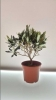 živo stablo masline u tegli /Live olive tree in a jar