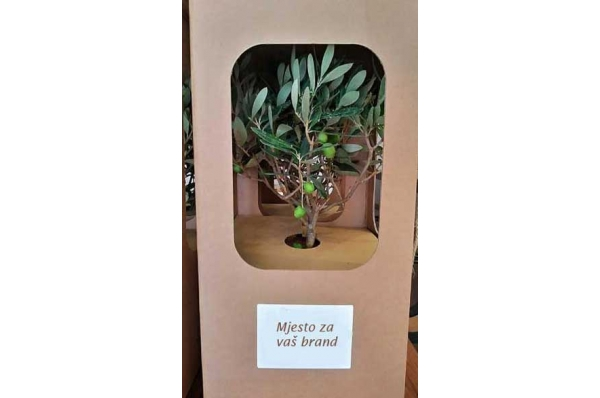živa stablo masline u tegli/ Live olive tree in a jar